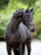Imported dressage gelding sold in San Diego by Exclusive Dressage Imports