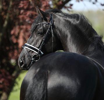 Westfalen Stallion