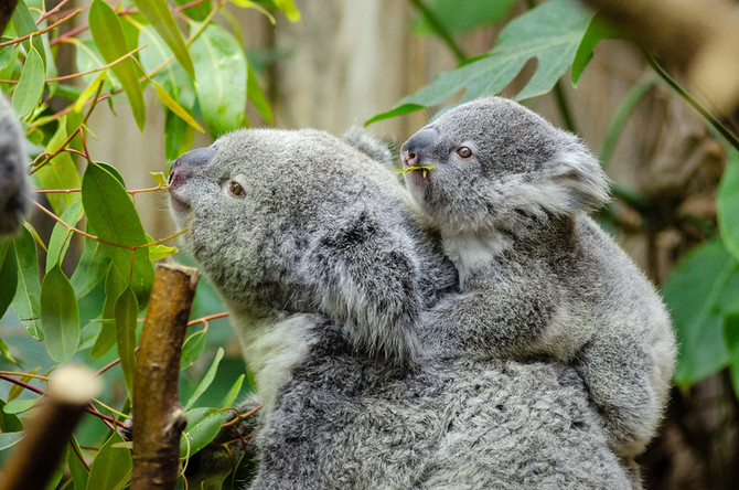 The Tale of the Hungry Koala