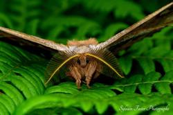 Papillon de nuit, Charlevoix