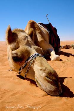 Chameau, Émirat Arabe Unis