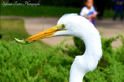 Aigrette, Disney World. FL