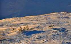 Chèvres de montagne, Yukon