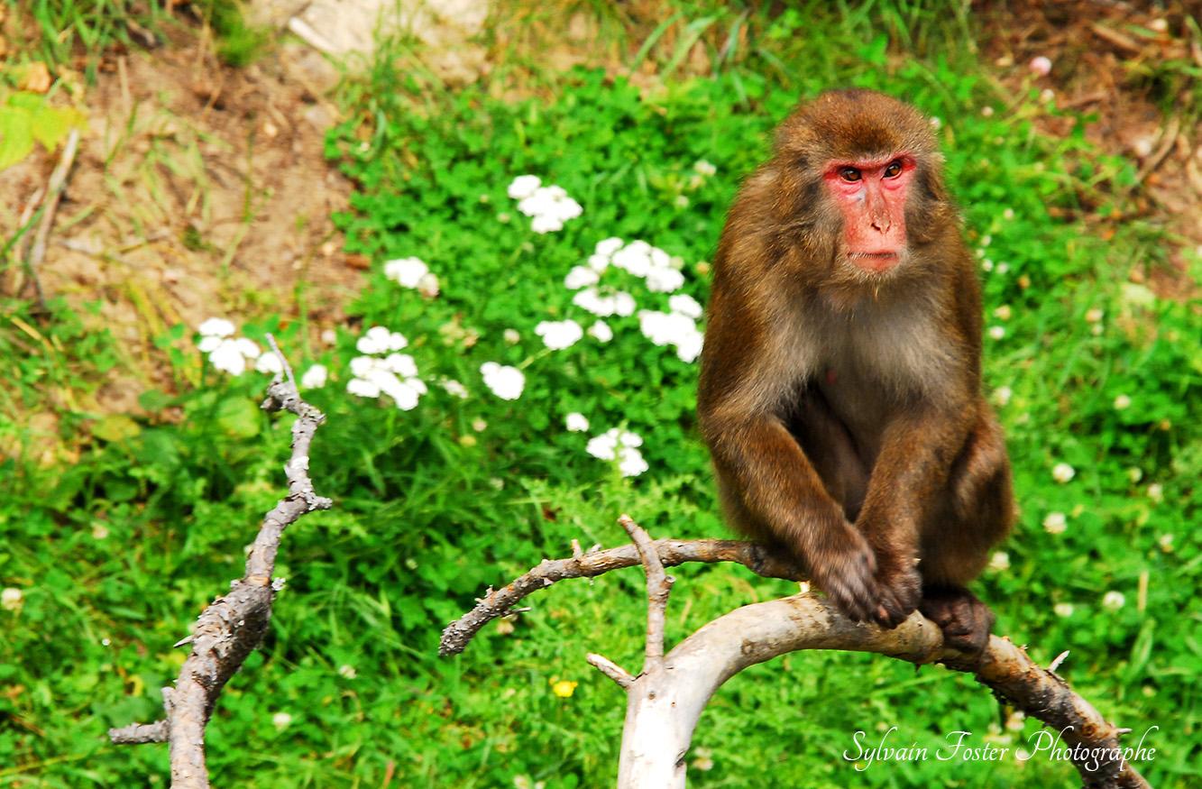Singe Japonais, Zoo de St-Félicien