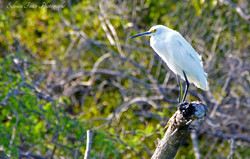 Aigrette Neigeuse, Costa Rica