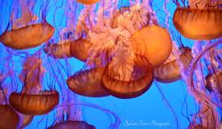 Méduses, Aquarium de Monterey