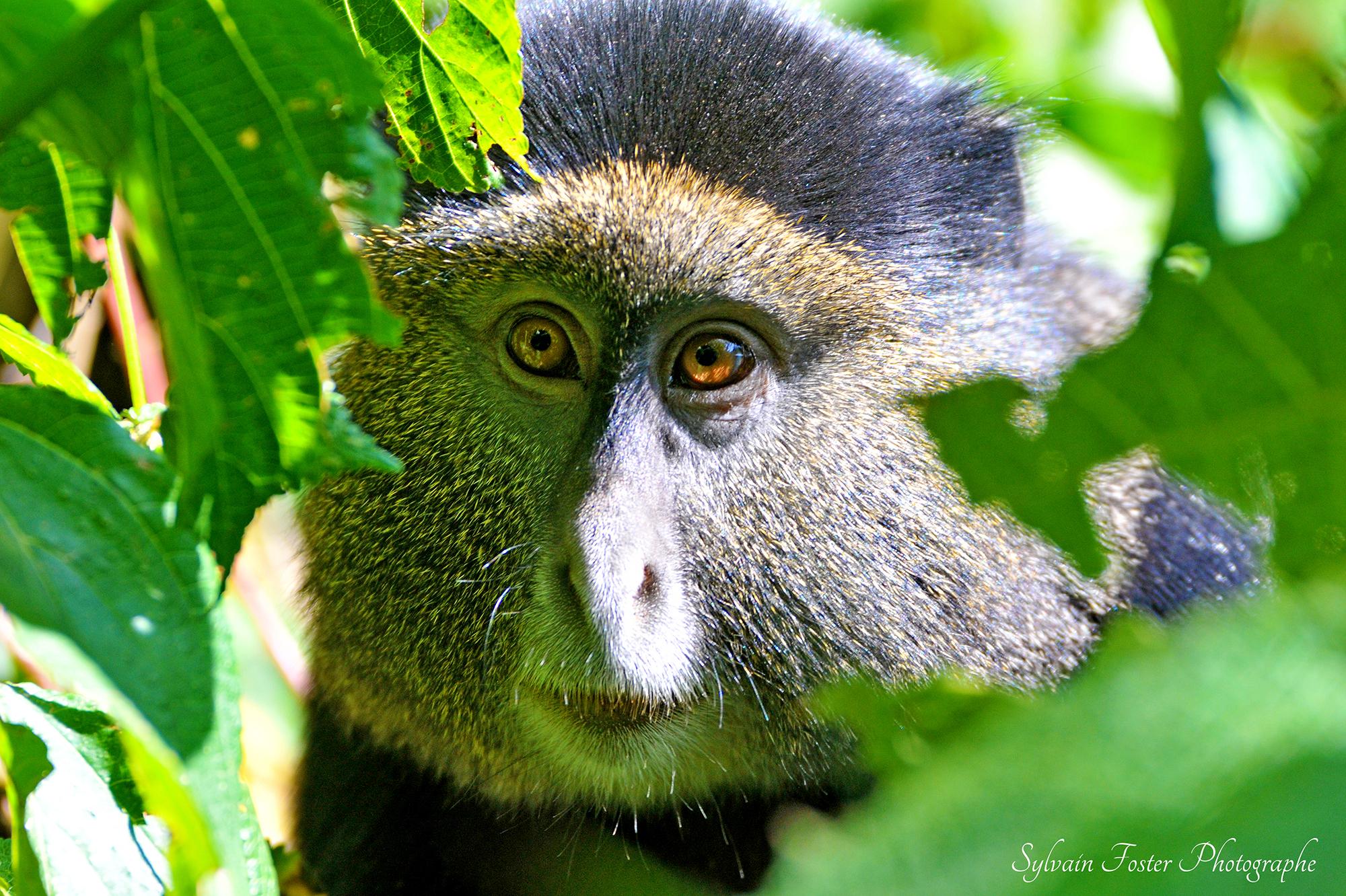 Golden Monckey, Rwanda
