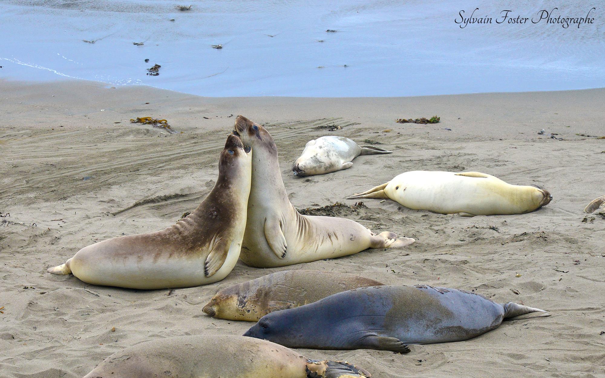 Sea Lion, Californie