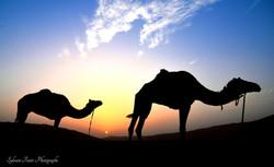 Chameaux, Émirat Arabe Unis