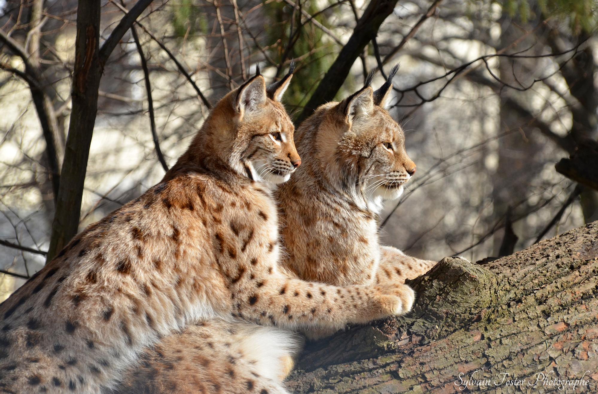 Lynx, Zoo d'Innsbruck, Au
