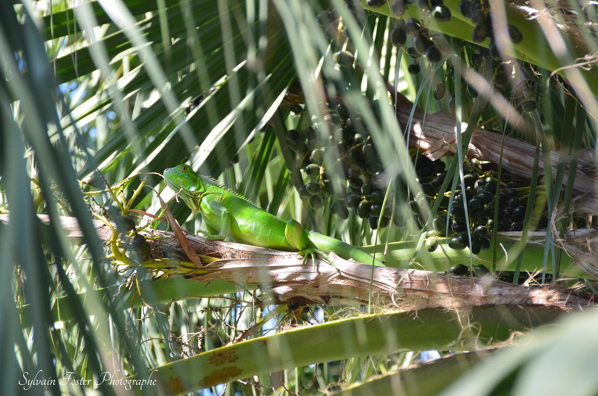 Iguane, Coata Rica