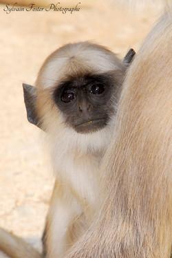 Langur gris, Inde
