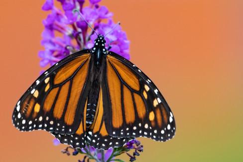 Marvelous Monarch