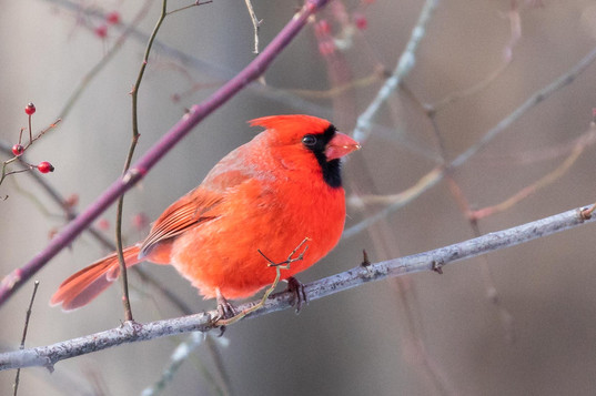 Cardinal on winter branch - Bare tree, interesting clouds - nature photo