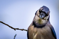 Bluejay - Bare tree, interesting clouds - nature photo