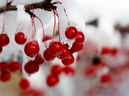 Holiday Card - Winter Berries