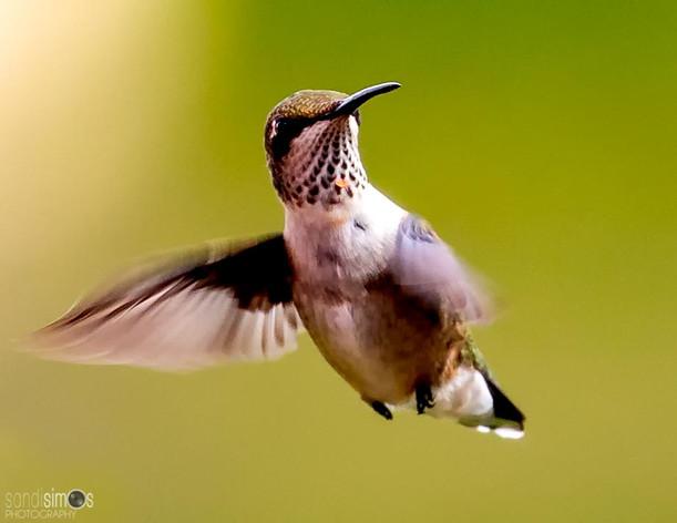 Floating Hummingbird