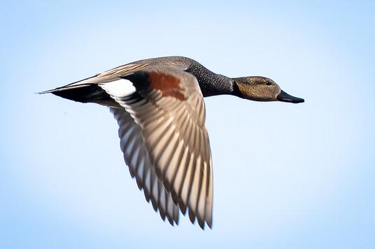 Duck in flight - nature photo