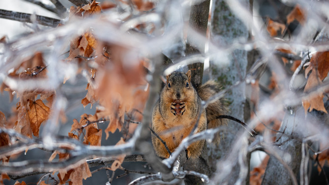 Squirrel among ice covered brances - Bare tree, interesting clouds - nature photo