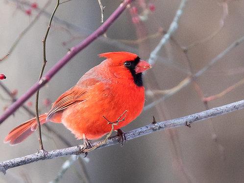 Holiday Card - Cardinal