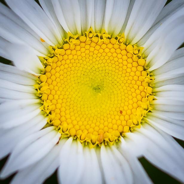 Daisy close up - flower nature photo