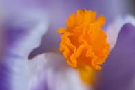 Crocus flower close up - nature photo