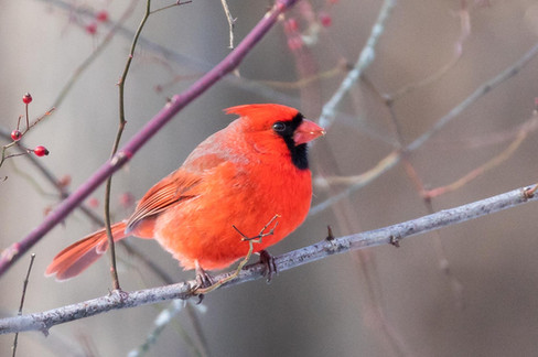 Nature photo - cardinal - perfect for notecard