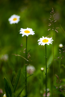Nature wildflower photo - daisies in a row
