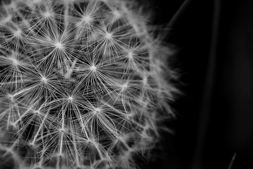 Nature photo - dandelion close up, black and white