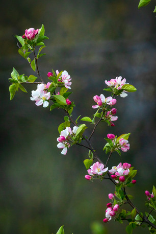 Pink spring blossoms - Bare tree, interesting clouds - nature photo