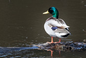 Duck on rock - nature photo