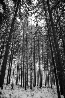 Nature photo - trees in winter