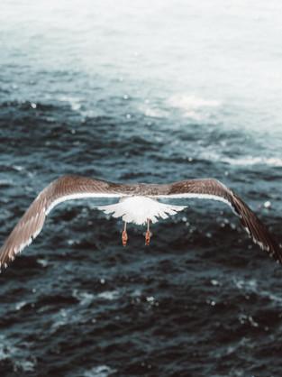 Seagul over ocean-1.jpg