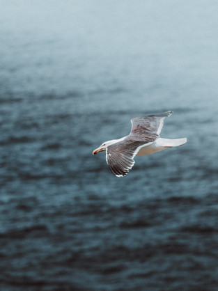 Seagul flying over ocean-1.jpg