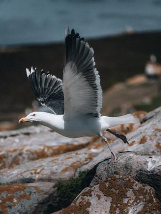 Seagul take off-1.jpg