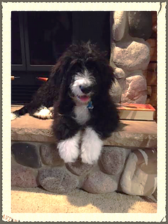 Bernedoodle puppies for sal