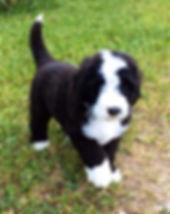 bernedoodles for sale