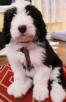 Tricolor Bernedoodle Puppies For Sale|Berner Mountain Bernedoodles