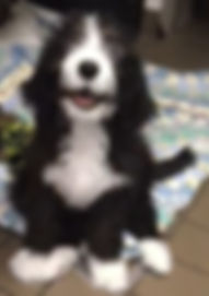 Bernedoodles for sale