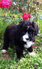 puppy and rose