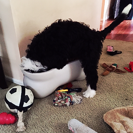 Dog looking in toy box