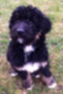 Puppy on lawn