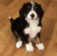 Puppy posing for camera