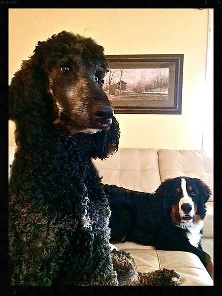 Poodle and Bernese Mountain Dog