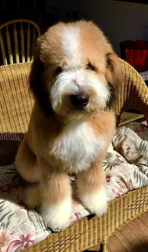 bernedoodle in chair