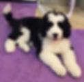 Puppy on a purple mat