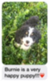 Bernedoodles puppies for sale