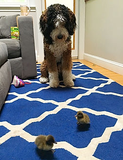 Dog with baby ducks