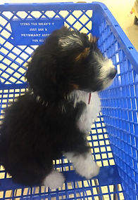 puppy in cart