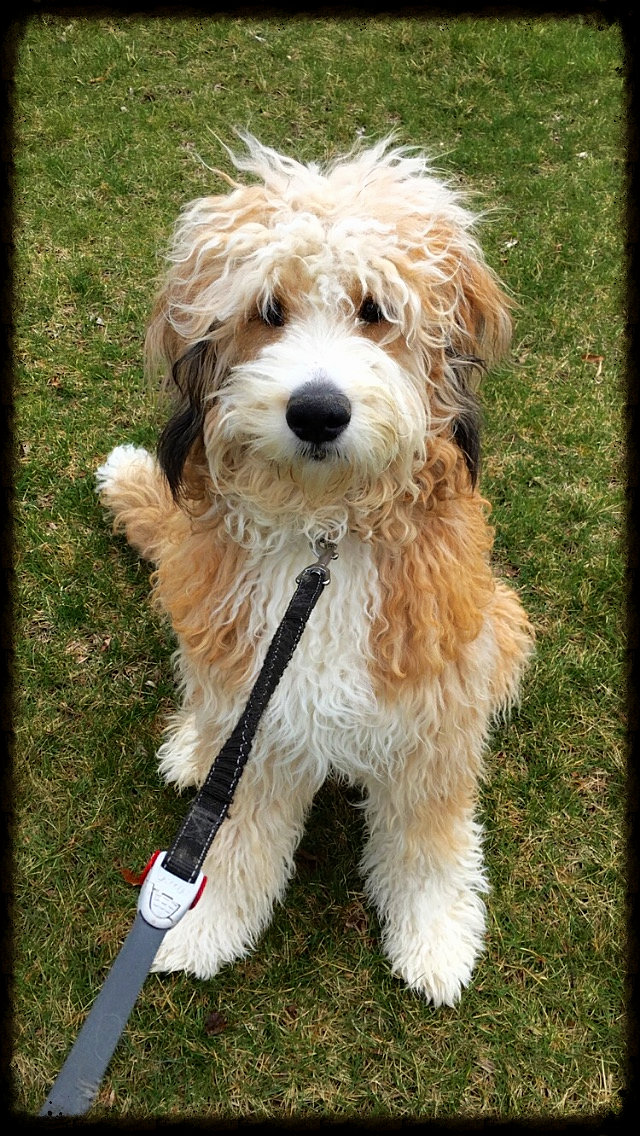 Image Result For Bernedoodle Puppies